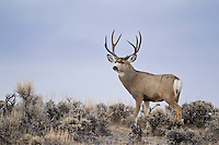 Mule deer buck on ridge top in Western Wyoming