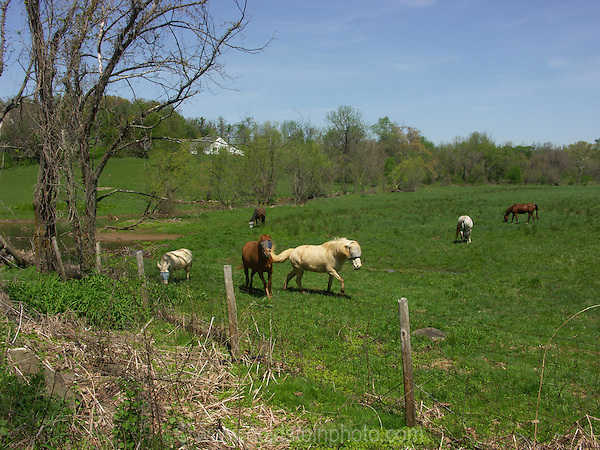 Horses in a field.Loudoun County Virginia.