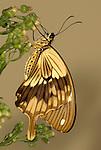 Mocker Swallowtail Butterfly, Papilio Dardanus, side view of wings resting on flower, brown, male, .Africa....