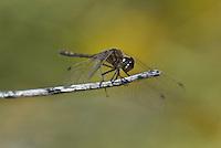 362690010 a wild male black meadowhawk sympetrum danae perches on a stick near de chambeau ponds in mono county california united states