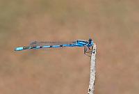 320240019 a wild male familiar bluet enellagma civile perches on a dead twig over the lake at parker canyon lake cochise county arizona