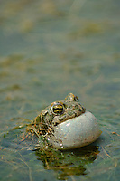 A male European Green Toad (Bufo viridis) vocalizing in a pond, Europe.