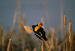 Yellow-headed blackbird, Washington