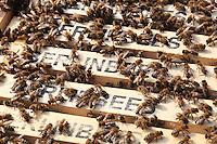 """«Berlinbees», les abeilles de Berlin est inscris sur les cadres de cire des abeilles du Dome de Berlin. Depuis 2011 et le programme de Berlin Summt qui a placé des ruches sur les batiments publics connu de Berlin, les berlinois ont vraiment l'impression que leur ville regorgent d'abeilles. Pourtant, Berlin comptait déjà 750 apiculteurs et près de 2500 ruches…tout au long de l'année et plus de 15 000 pendant la floraisons des tilleuls quand des apiculteurs professionnels apportent leurs ruches d'abeilles en ville.///""""Berlinbees"""" is written on the beeswax frames of the Berlin Cathedral. Since 2011 and the Berlin Summt (Berlin is Buzzing) program which placed hives on well-known public buildings in Berlin, the Berliners really have the impression that their city buzzes with bees. However, Berlin already counted 750 beekeepers and nearly 2500 hives throughout the year and over 15,000 during the blossoming of the Lindens when professional beekeepers bring their hives into the city."""