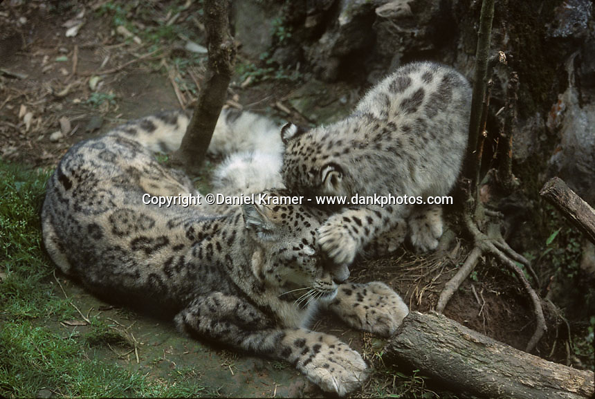 Himalayan leopard - photo#23