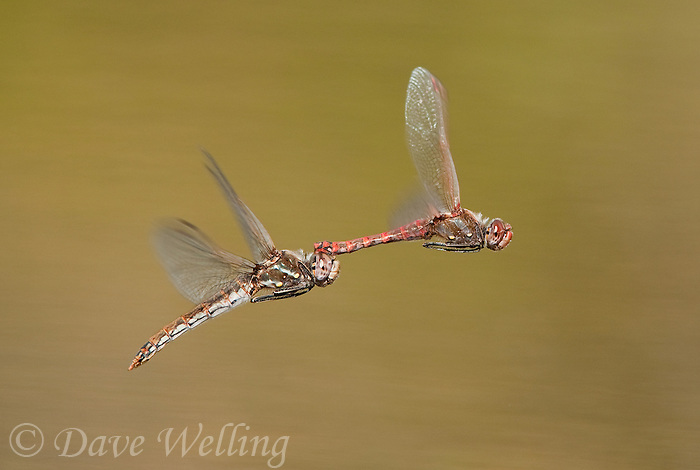 362800012 a wild mated pair of variegated meadowhawk dragonflies sympetrum corruptum fly in copula over a small pond on beto gutierrez santa clara ranch hidalgo county lower rio grande valley texas united states