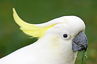 Sulphur-crested Cockatoo eating vegetation, Australia