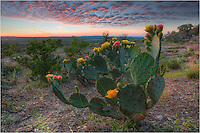 When I backed up to capture this image of prickly pear cacti in bloom at Enchanted Rock State Park, in my focused state, I did not realize behind me was a smaller, scruffier cactus waiting to greet me. After this working to this this angle and perspective just like I wanted, I then spent the next 10 minutes pulling cacti thorns out of my shirt and jeans. It wasn't a pleasant experience, but I am pleased with this Texas landscape image.