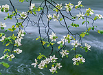 A branch of a dogwood in bloom hangs over the Merced River in Yosemite National Park, California.