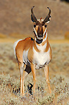 Pronghorn Male, Close Portrait, Blacktail Plateau, Yellowstone National Park, Wyoming