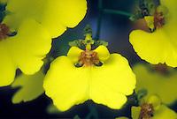 Oncidium varicosum var. rogersii Orchid species