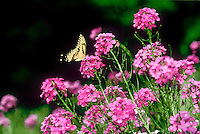 Swallowtail butterfly on blooming flowers