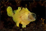 Yellow painted frogfish: Antennarius pictus, side profile on volcanic sand, Tulamben, Bali