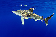 oceanic whitetip shark, Carcharhinus longimanus, with remora, Remora sp., IUCN Vulnerable Species, Kona Coast, Big Island, Hawaii, USA, Pacific Ocean