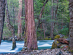 Sequoias and Merced River, Yosemite National Park, California, USA