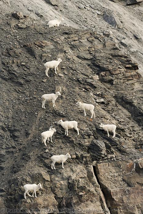 Dall sheep ewes and lambs climb along the rocky cliffs of the Brooks mountain range, arctic, Alaska.