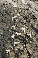 Dall sheep ewes and lambs climb along the rocky cliffs of the Brooks mountain range, arctic, Alaska.