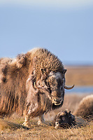 A young muskox calf and adult on the tundra of Alaska's arctic north slope.
