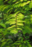 Metasequoia glyptostroboides 'Gold Rush' aka 'Ogon' Dawn Redwood tree