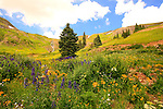 Wildflowers Blooming in Porphyry Basin With Distant Waterfall San Juan Mountains Colorado