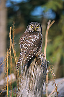 Northern hawk owl perched on a stump holding a recently captured vole, Delta Junction, Alaska.