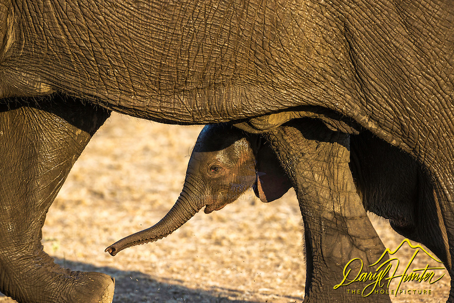 Elephant Calf and his mom.  It was interesting to watch elephant calves maneuver in an around the mother elephants legs, all the while the mom's perfect awareness of where not to step