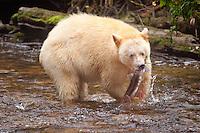 """Kermode """"Spirit"""" Bear catching a Pink Salmon"""