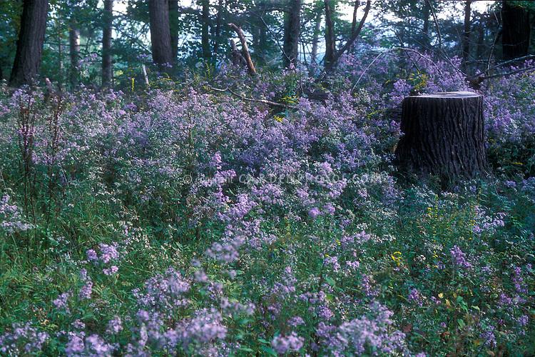 Aster novae-angliae in the wild
