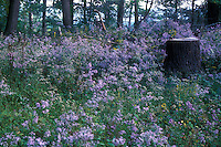 Aster novae-angliae in the wild