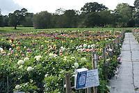 Aylett's Dahlia Display Garden, Hertfordshire
