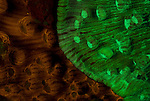 Fluorescent corals in 2 colours, Mycedium elephantotus