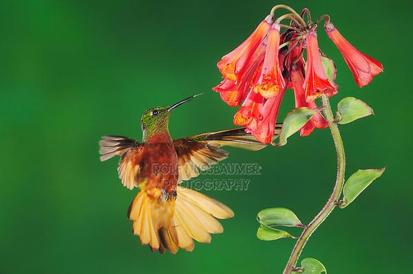 Chestnut-Breasted Coronet (Boissonneaua matthewsii), adult feeding from Lily Vine flower,Papallacta, Ecuador, Andes, South America