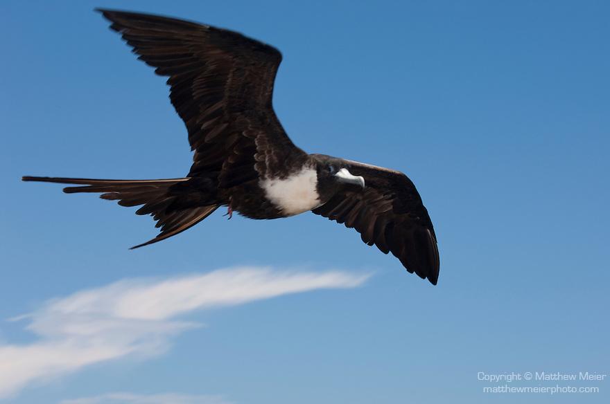 South Plazas Island, Galapagos, Ecuador; a female Magnificent frigatebird (Fregata magnificens) flying overhead against the blue sky , Copyright © Matthew Meier, matthewmeierphoto.com All Rights Reserved