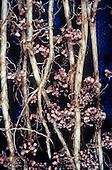Nitrogen-fixing nodules on Alfalfa roots (Medicago sativa).