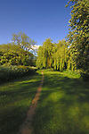 Track leading to  weeping willow trees and cow parsley, North Yorkshire countryside, Yorkshire England.