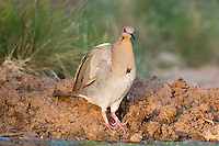 518240024 a wild adult white-winged dove zenaida asiatica with a large puncture wound in its chest stops to drink water at a pond in the rio grande valley in south texas you can see the water spilling out through the puncture wound