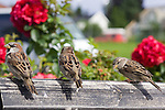 Close up of three sparrows landed on a bench with a blurred background showing red roses