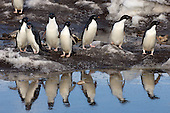 Adelie Penguin group standing at water's edge, Antarctica