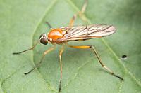 A Xylophagid fly (Dialysis elongata) perches on a leaf.