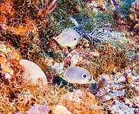25 July 2015: A pair of Foureye Butterflyfish (Chaetodon capistratus) swim together at Lemon Reef, on the North side of Grand Cayman Island. Located in the British West Indies in the Caribbean, the Cayman Islands are renowned for excellent scuba diving, snorkeling, beaches and banking.  Mandatory Credit: Ed Wolfstein Photo *** RAW (NEF) Image File Available ***
