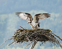 Osprey landing on nest near Multnomah Falls in Columbia River Gorge National Scenic Area, Oregon