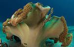 ornate ghost pipefish: Solenostomus paradoxus, Bunaken National Park, Sulawesi, Indonesia