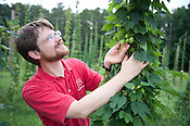 Scott King holds hops cones at NCSU's Hops Field Monday July 9th 2012.