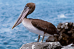 Brown pelican, Galapagos Islands