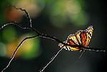 Suncatcher - Monarch Butterfly..El Rosario Monarch Butterfly Sanctuary, Michoacan, Mexico..Print 2894