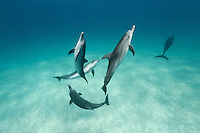 RW4476-D. Atlantic Spotted Dolphins (Stenella frontalis), intelligent and gregarious. Grow to 7.5 feet in length and 300 pounds, feed primarily at night on flying fish and squid. Bahamas, Atlantic Ocean.<br /> Photo Copyright &copy; Brandon Cole. All rights reserved worldwide.  www.brandoncole.com