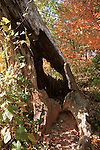 Autumn leaves with old burned out tree stump Commonwealth of Virginia,