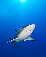 Caribbean Reef Sharks, Carcharhinus perezi, swimming over coral reef ledges, West End, Grand Bahama, Atlantic Ocean.