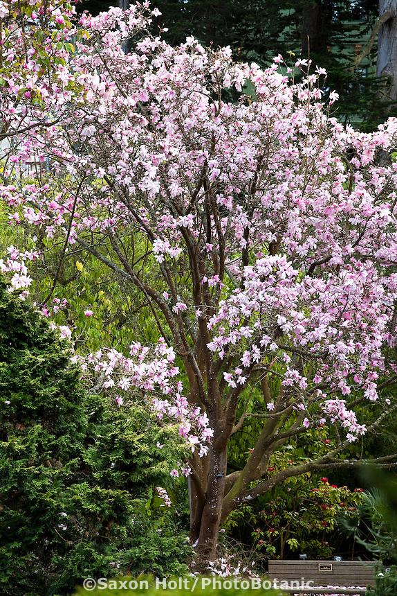 Winter flowering tree by bench, Dawson's magnolia (Magnolia dawsoniana) San Francisco Botanical Garden