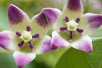 Milkweed Flowers<br /> Virgin Islands